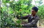 Chanh đào, cây trồng mới cho hiệu quả kinh tế cao ở xã Quảng Châu