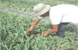 Mẹo trồng dưa hấu năng suất cao