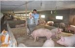 Bí quyết dùng công nghệ của tỷ phú nuôi lợn