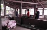 Nữ nông dân nuôi lợn giỏi