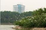 Cần duy trì không gian sinh tồn cho đảo cò ở thành phố Hưng Yên