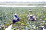 Nghề trồng ấu ở Hưng Yên