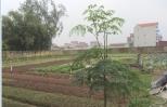 Một số chú ý khi trồng cây rau chùm ngây