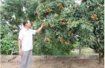 Nhãn sớm Hồng Nam có giá 60 -70 nghìn đồng/kg