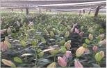 Trồng hoa huệ và hoa lily, ông lão cười hi hi vì thu nhập cực tốt