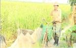 Trồng niễng cho thu hoạch khá ở thành phố Hưng Yên