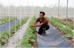 Hưng Yên: Sản xuất nông nghiệp trong... nhà