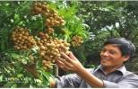 Trồng nhãn VietGap, nông dân Hưng Yên hết lo đầu ra