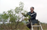 Những vườn đào Hưng Yên sẵn sàng cho dịp Tết Mậu Tuất