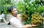 Sản lượng nhãn Hưng Yên chỉ đạt khoảng 32 nghìn tấn