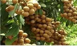 Nhãn Hưng Yên được giá và tiêu thụ thuận lợi