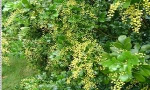 Thơm ngát loài hoa ngâu
