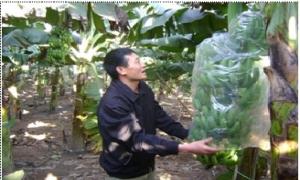 Kỳ công trồng chuối tiêu hồng bán tết