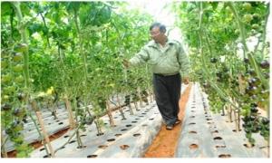 Bí kíp trồng cà chua đen sai trĩu giàn của nông dân phố núi