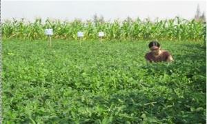 Kỹ thuật trồng giống lạc chay trắng