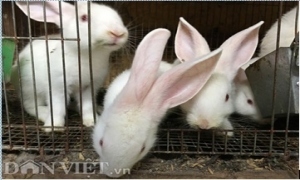 Kinh nghiệm tăng đàn thỏ ngoại gấp 100 lần chỉ sau 1 năm nuôi