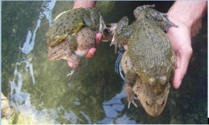 Bí quyết giúp ếch sinh sản bằng hệ thống phun mưa