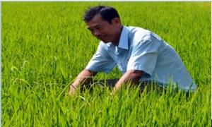 Trồng lúa theo hợp đồng, lão nông thu nửa tỷ mỗi năm