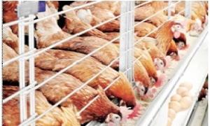 Nữ chủ trang trại tiên phong nuôi gà chuồng lạnh