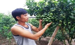 Thu tiền tỷ từ trồng chanh tứ quý