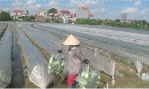 Hải Dương: Trồng rau thu nhập trên 100 triệu đồng/ha