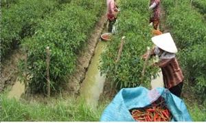 Ớt trúng mùa được giá người trồng lãi 250 triệu/ha