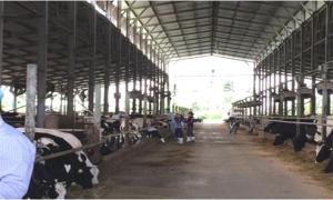 Cảm nắng, cảm nóng ở trâu, bò và biện pháp phòng trị