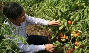 Phòng trừ sâu bệnh hại cà chua