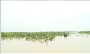Làng đảo duy nhất ở Hưng Yên mất trắng hơn 200 mẫu cây trồng vì nước sông Hồng lên cao