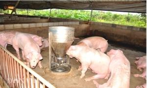"""Phát hiện lợn """"đi biên"""" bị bơm nước và nhét cát vào bụng, 2 miền giữ giá"""