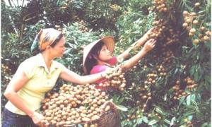 Nhãn lồng Hưng Yên nhận Thương hiệu Vàng nông nghiệp Việt Nam
