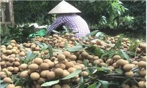 Sắp diễn ra Tuần lễ Nhãn lồng Hưng Yên tại Hà Nội năm 2017