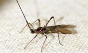 Bọ xít muỗi hại ổi