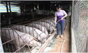 Giá lợn hôm nay 2.10: Lợn cả 3 miền giảm giá trong tuần qua, giá lợn sau vụ bơm thuốc vào 5.231 con lợn sẽ diễn biến thế nào?