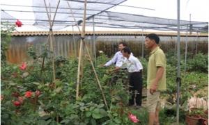 Làm giàu từ trồng hoa hồng ở Long Hưng