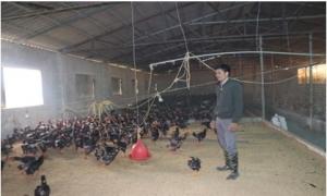 Quyết chí làm giàu từ nuôi gà