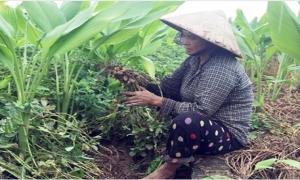 Hưng Yên: Mùa lạc trọn niềm vui