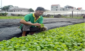 Hiệu quả kinh tế từ nghề ươm cây rau giống