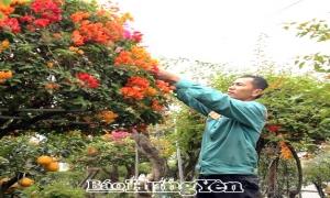 Vườn hoa giấy ngũ sắc bạc tỷ của nông dân Văn Giang