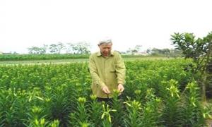 Chỉ với 4 sào trồng hoa loa kèn, mỗi năm ông Bùi Đình Chỉ ở thôn Thụy Dương, xã Thụy Lôi (Tiên Lữ) thu lãi trên 100 triệu đồng.
